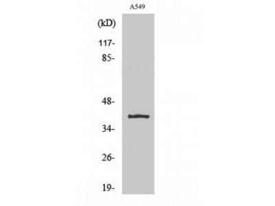 KCNK15 Polyclonal Antibody