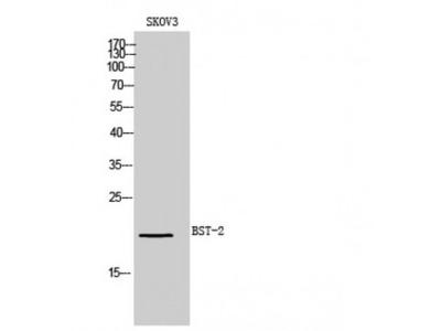 BST2 Antibody