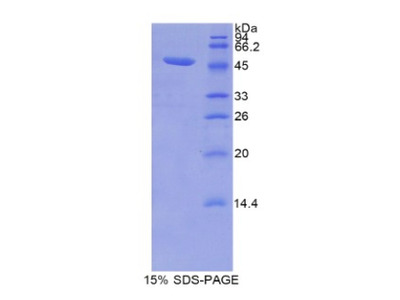 LCN12 Protein