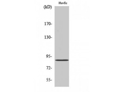 PRKG2 / CGKII Antibody