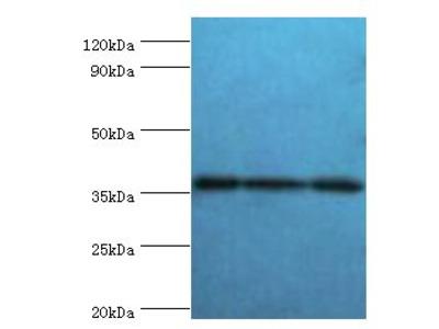SLAMF7 / CRACC Antibody