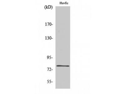 SKIL / SNO / SnoN Antibody