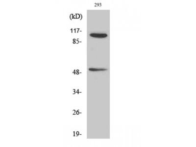 NFKB1 / NF-Kappa-B Antibody
