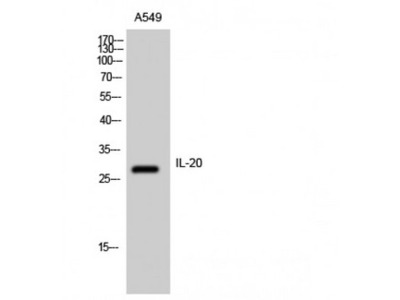 IL20 Antibody