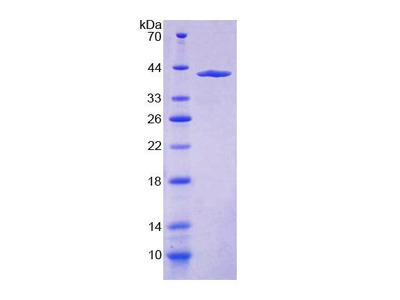 MYO5A / Myosin V Protein