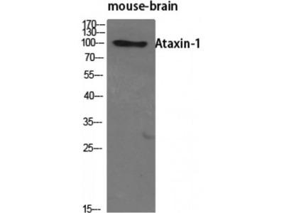 ATXN1 / SCA1 Antibody