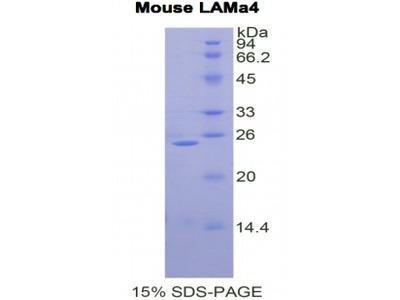 LAMA4 / Laminin Alpha 4 Protein
