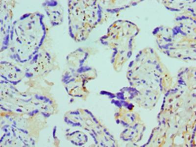 AZU1 / Azurocidin Polyclonal Antibody