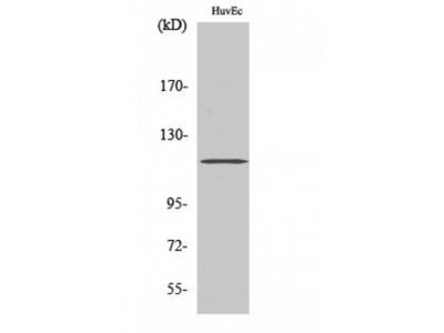 ST18 Polyclonal Antibody