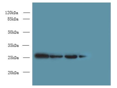 MED7 / CRSP9 Antibody