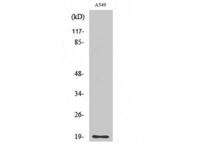 CD3D Antibody