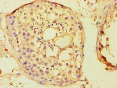 BOULE / BOLL Antibody
