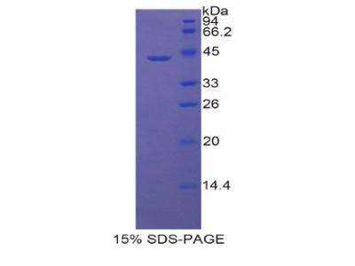 LCN6 Protein