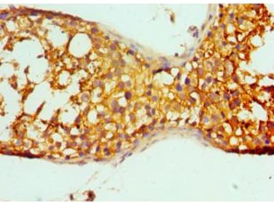 PRND / DOPPEL Antibody