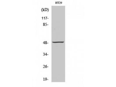 NUSAP1 / NUSAP Antibody