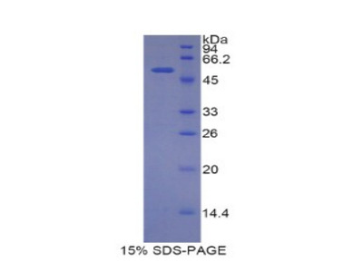 SLC3A2 / CD98 Heavy Chain Protein