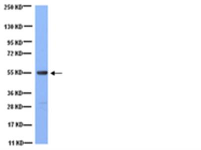 Anti-Tubulin Antibody, clone YL1/2