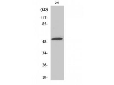 SLC39A7 / ZIP7 Antibody