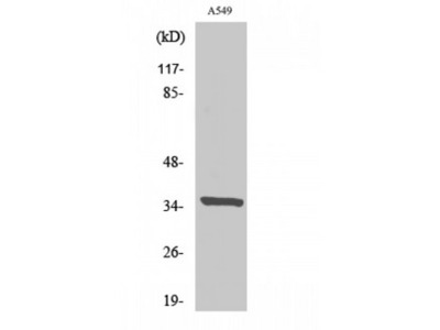 PEX2 / PAF-1 Antibody