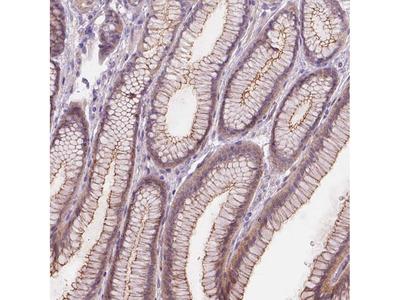 Anti-GXYLT2 Antibody
