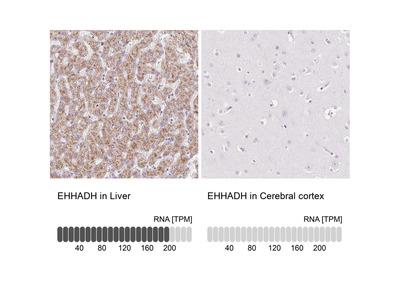 Anti-EHHADH Antibody