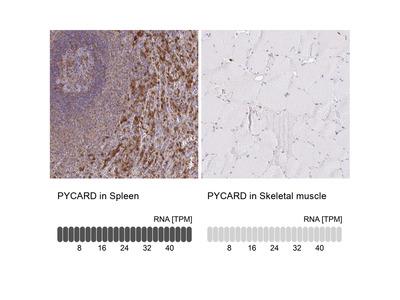 Anti-PYCARD Antibody