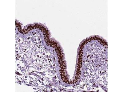 Anti-C9orf69 Antibody