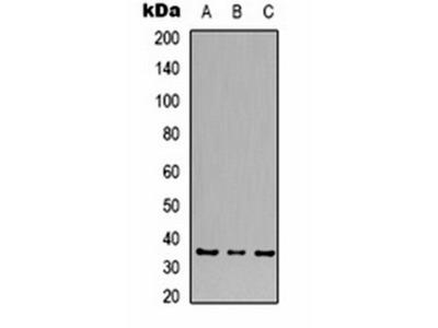 CACNG5 antibody