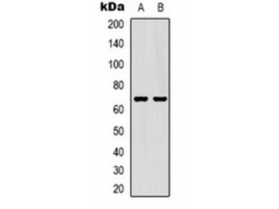 GAT1 antibody
