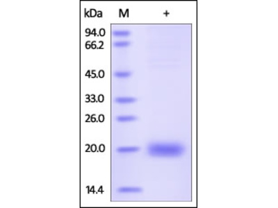 Human SECTM1 Protein