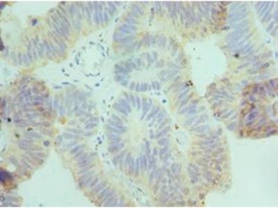 CSRNP1 / AXUD1 Antibody