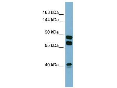 Rabbit Polyclonal Anti-PXDN Antibody