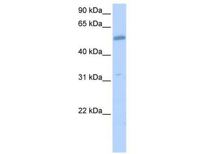 Rabbit Polyclonal Anti-COL26A1 Antibody