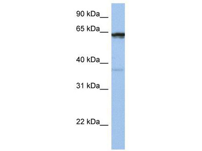 Rabbit Polyclonal Anti-POPDC2 Antibody