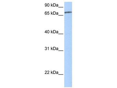 Rabbit Polyclonal Anti-ZNF418 Antibody