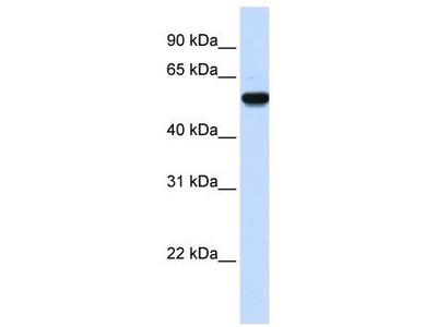 Rabbit Polyclonal Anti-EEF1A2 Antibody