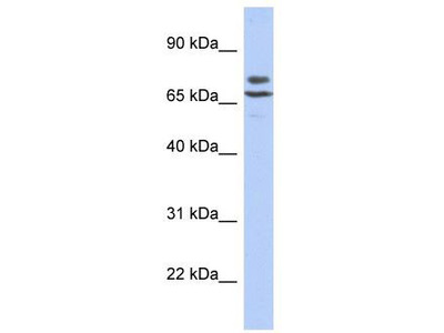 Rabbit Polyclonal Anti-C3orf39 Antibody