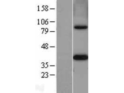 Transient overexpression lysate of methylenetetrahydrofolate dehydrogenase (NADP+ dependent) 2, methenyltetrahydrofolate cyclohydrolase (MTHFD2), nuclear gene encoding mitochondrial protein, transcript variant 1