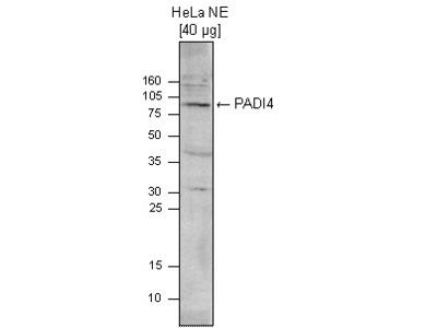 Rabbit Polyclonal PADI4 Antibody