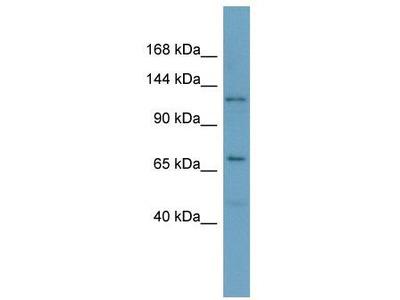 Rabbit Polyclonal Anti-POLRMT Antibody