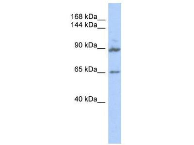 Rabbit Polyclonal Anti-GPRASP2 Antibody