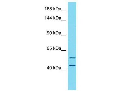 Rabbit Polyclonal Anti-TTC7A Antibody