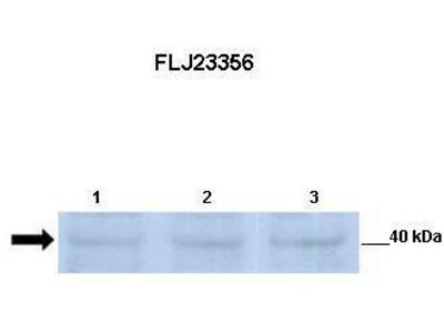 Rabbit Polyclonal Anti-SGK196 Antibody
