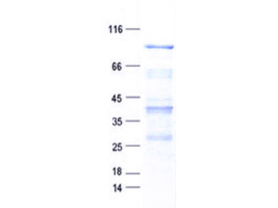 Purified recombinant protein of Human ArfGAP with GTPase domain, ankyrin repeat and PH domain 9 (AGAP9), full length, with N-terminal HIS tag, expressed in E. coli, 50ug