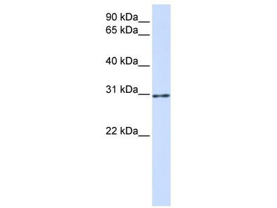 Rabbit Polyclonal Anti-AKT1S1 Antibody