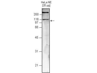 Mouse Monoclonal Snf2h Antibody