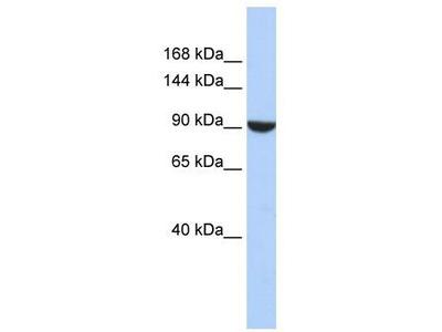 Rabbit Polyclonal Anti-PWP2 Antibody