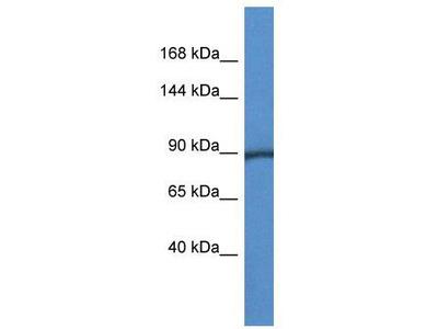 Rabbit Polyclonal Anti-Pygm Antibody