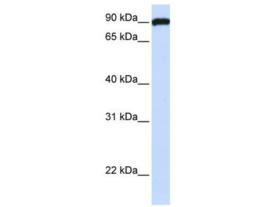 Rabbit Polyclonal Anti-ESYT3 Antibody