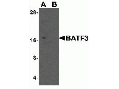 Rabbit Polyclonal Anti-BATF3 Antibody